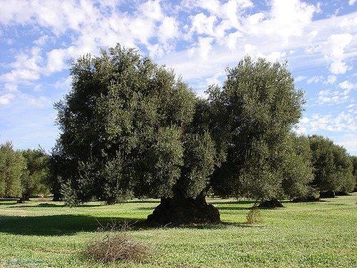 Olio biologico del Gargano: qualità e salute certificata