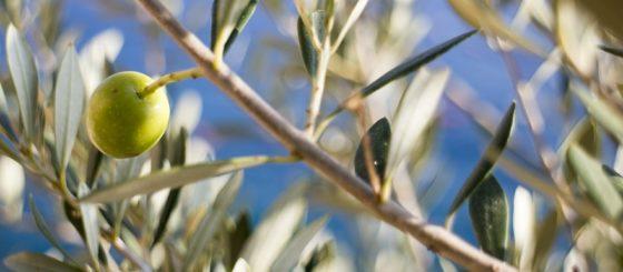 olive-519541_1280