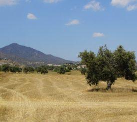 olive-tree-1495365_1920