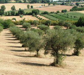 oliveto biologico sotto la sede del CEA